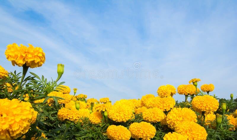 Flores amarelas do cravo-de-defunto com céu imagens de stock