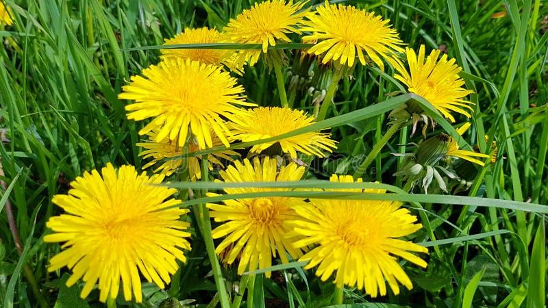 Flores amarelas do dente-de-leão, cercadas pela grama verde fotos de stock royalty free