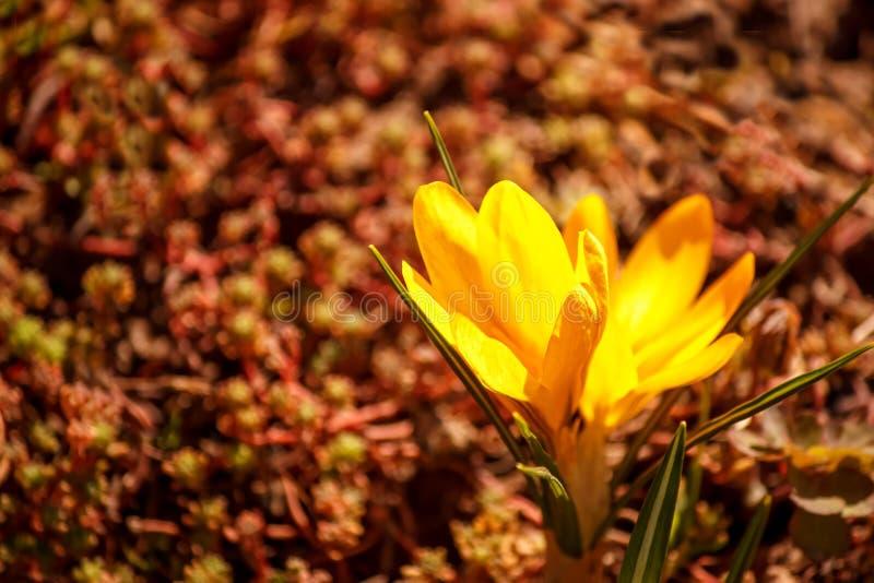 Flores amarelas do flox em um fundo marrom fotografia de stock