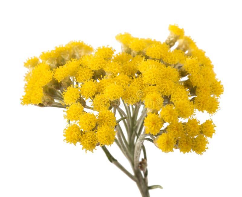 Flores amarelas do helichrysum imagem de stock