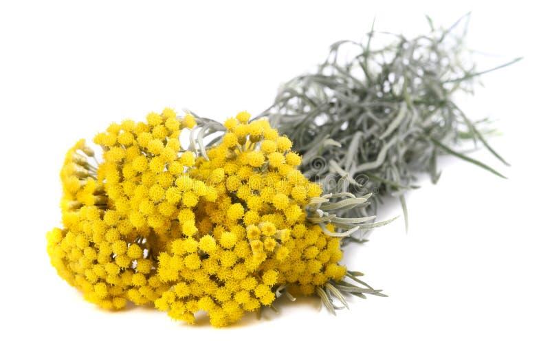 Flores amarelas do helichrysum foto de stock royalty free