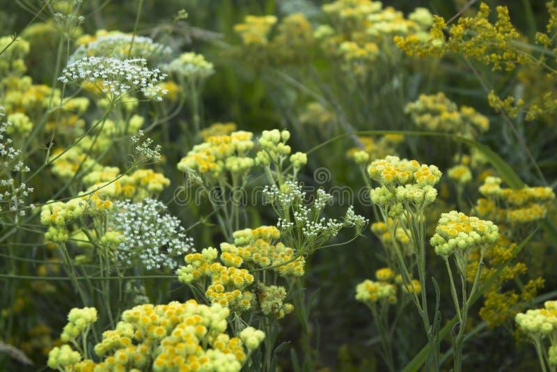 Flores amarelas do immortelle erval do arenarium do helichrysum da planta no prado no verão fotografia de stock