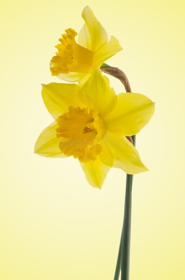 Download Flores de Jonquil imagem de stock. Imagem de daffodil - 29835069
