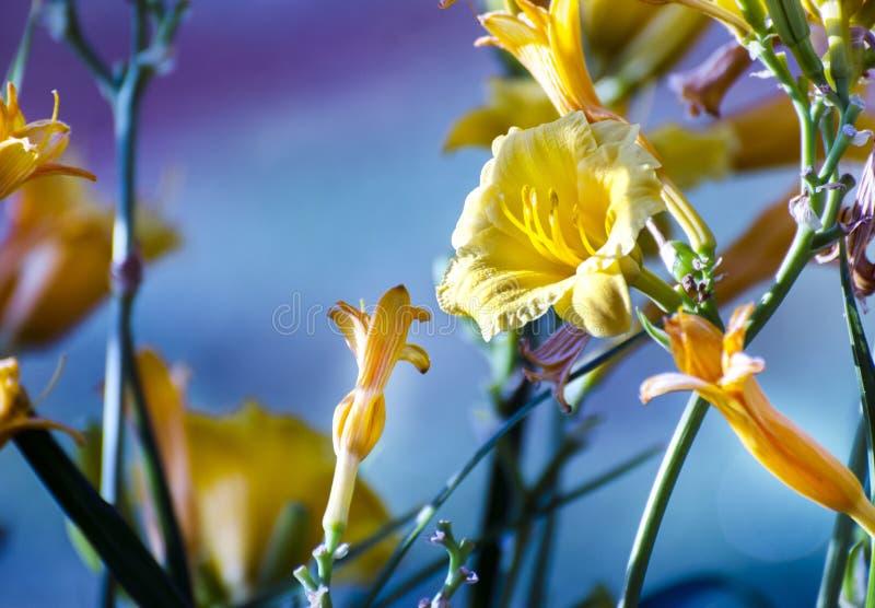 Flores amarelas do lírio de dia do jardim botânico fotos de stock royalty free