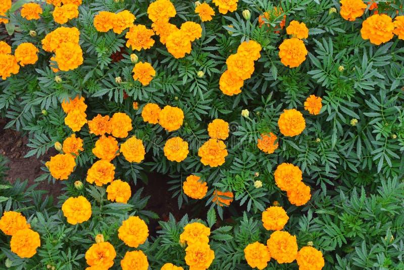 Flores amarelas do Marigold fotos de stock