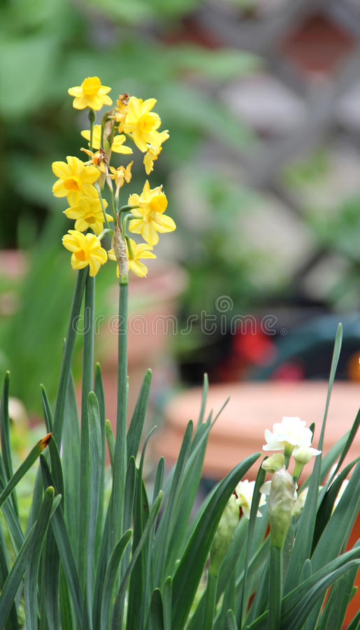 Flores amarelas do narciso amarelo fotografia de stock royalty free