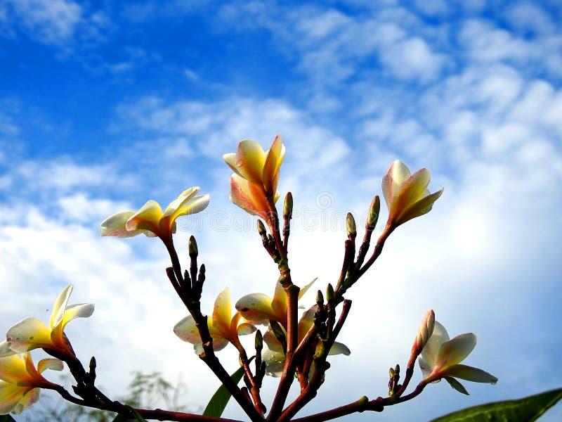 Flores amarelas do Plumeria fotografia de stock royalty free