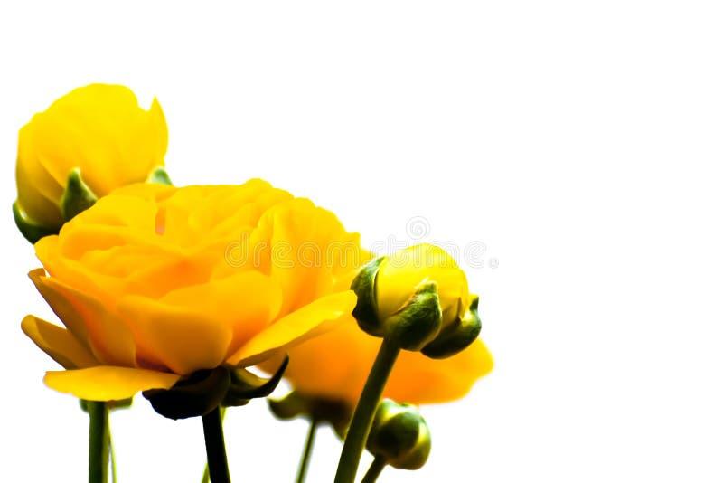 Flores amarelas do ranúnculo com fundo branco fotos de stock