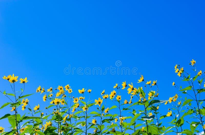 Flores amarelas do sol sobre o fundo do céu azul foto de stock