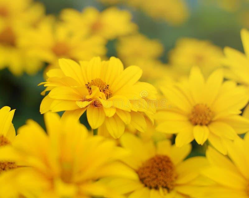 Flores amarelas do verão do Heliopsis fotos de stock royalty free