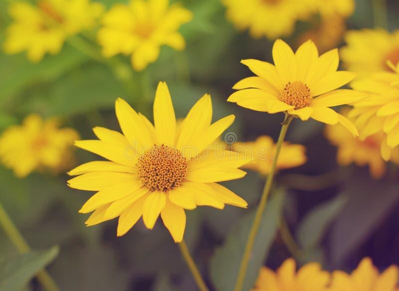 Flores amarelas do verão do Heliopsis fotos de stock