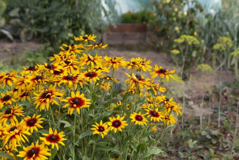 Flores amarelas do verão do rudbeckia no jardim fotografia de stock royalty free