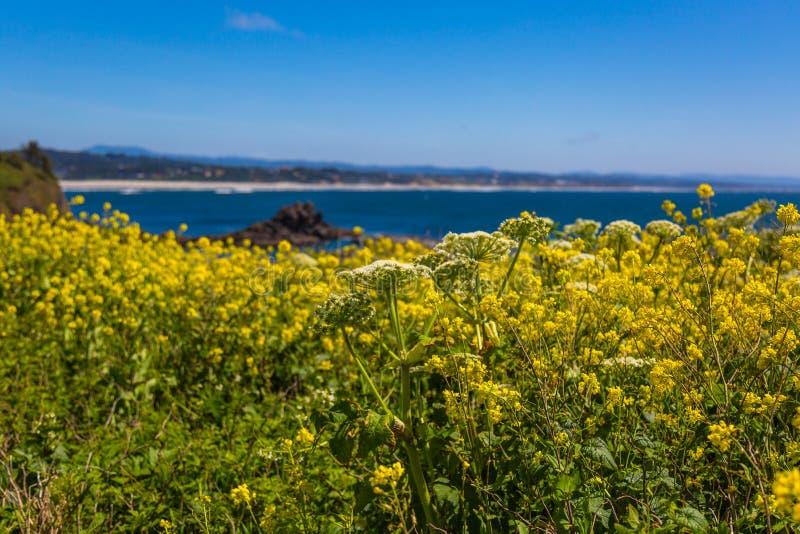 Flores amarelas do wildflower da primavera da costa de Oregon imagens de stock royalty free