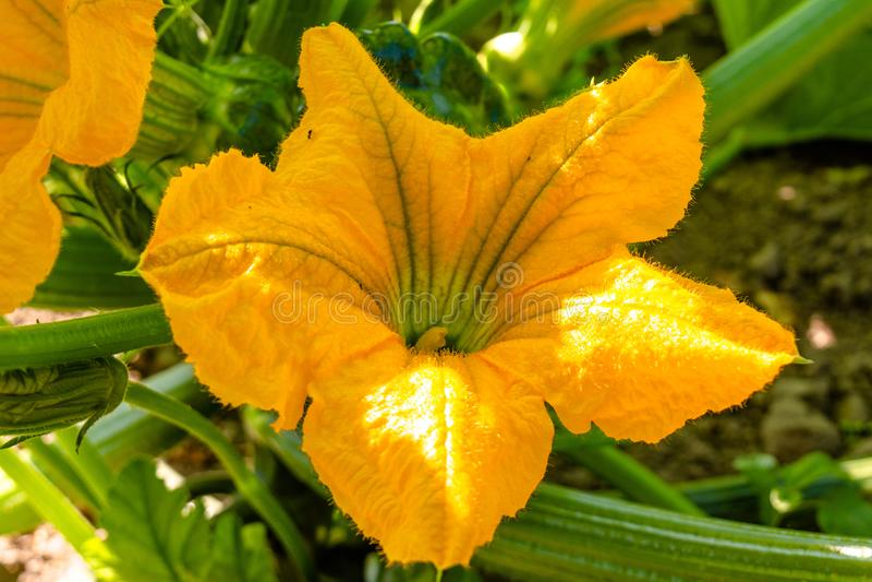 Flores amarelas dos pattisons que florescem no jardim imagens de stock royalty free