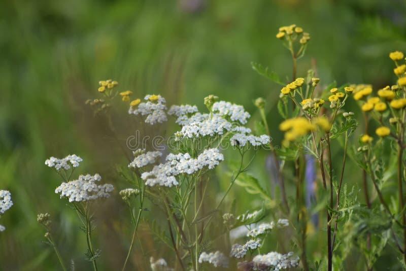 Flores amarelas e brancas da largura verde do prado Os raios do sol iluminam o prado fotos de stock royalty free