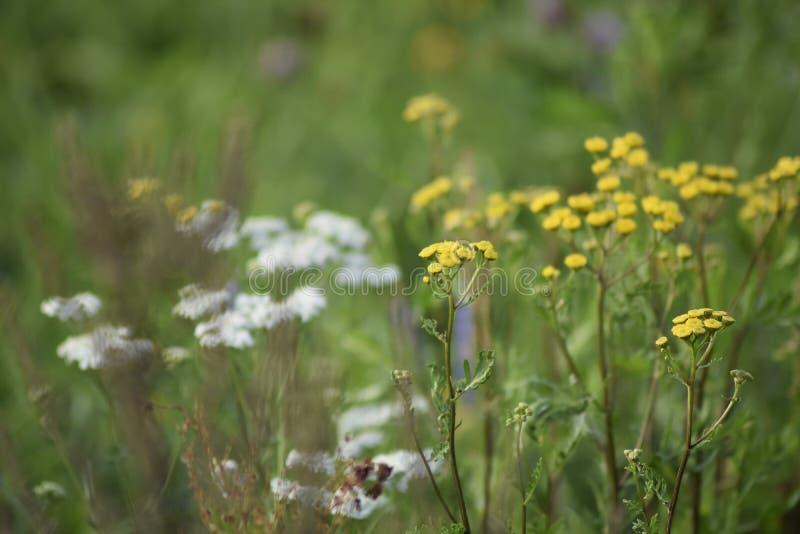 Flores amarelas e brancas da largura verde do prado Os raios do sol iluminam o prado imagens de stock royalty free