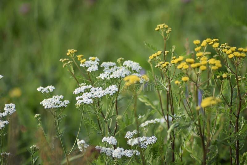 Flores amarelas e brancas da largura verde do prado Os raios do sol iluminam o prado fotografia de stock