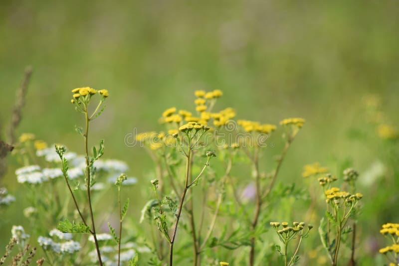 Flores amarelas e brancas da largura verde do prado Os raios do sol iluminam o prado fotografia de stock royalty free
