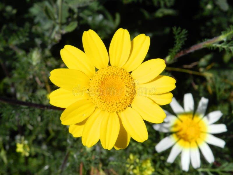 Flores amarelas e brancas da mola fotos de stock