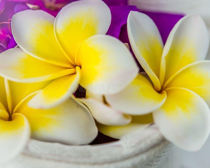 Flores amarelas e brancas do Frangipani fotografia de stock