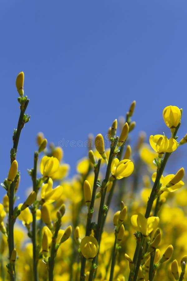 Flores amarelas e c?u azul foto de stock royalty free
