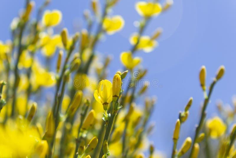 Flores amarelas e c?u azul fotos de stock royalty free
