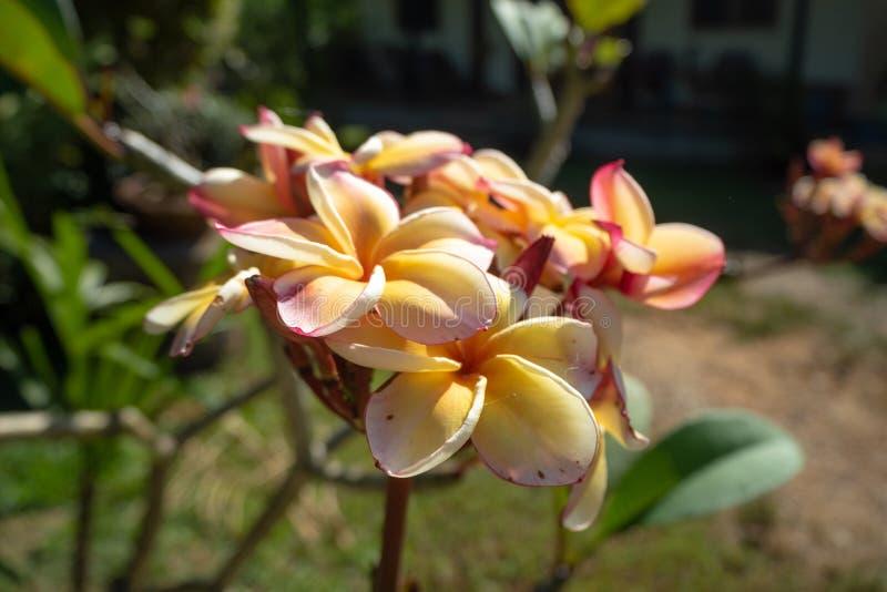 Flores amarelas e cor-de-rosa do tom dois com luz solar da manhã no fundo exterior borrado fotografia de stock