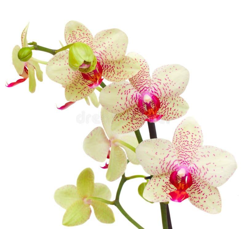Flores amarelas e vermelhas da orquídea imagens de stock