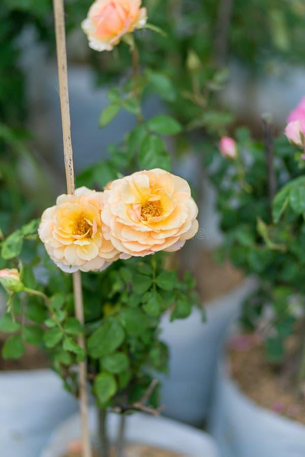 flores amarelas em em pasta, no parque fotos de stock royalty free