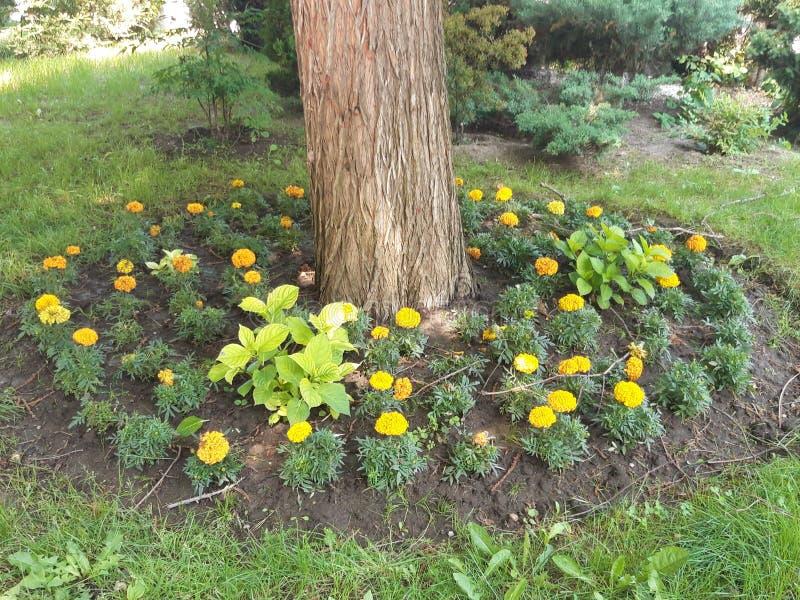 Flores amarelas em torno da base de uma grande árvore fotografia de stock royalty free