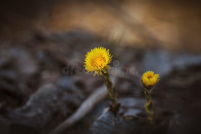 Flores amarelas em um close-up borrado do fundo Coltsfoot de duas flores Planta medicinal As primeiras flores da mola na floresta imagens de stock royalty free