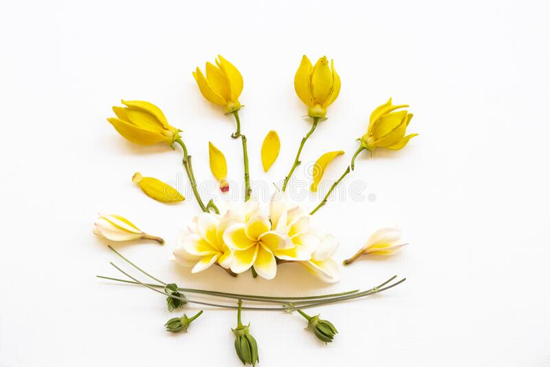 Flores amarelas frangipani ,ylang ylang flora local da ásia arranjo achatado estilo postcard letônico fotos de stock royalty free