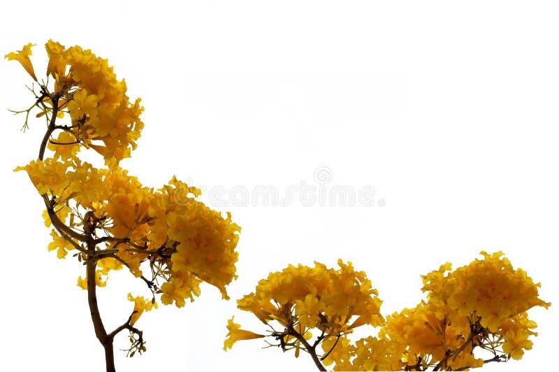 Flores amarelas frescas da flor da cor da árvore do aurea de Tabebuia ou da árvore de trombeta imagem de stock