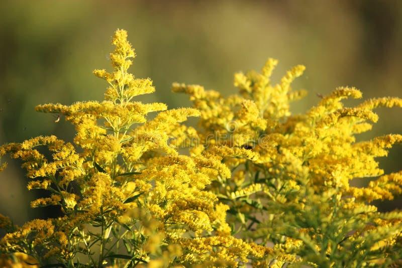 Flores amarelas, Goldenrod fotografia de stock royalty free