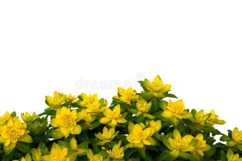 Flores amarelas isoladas no fundo branco. fotos de stock royalty free