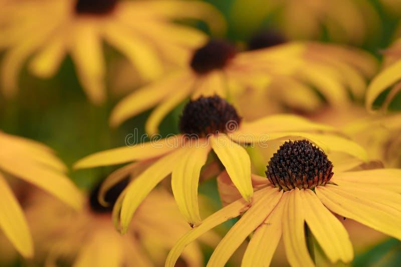 Flores amarelas múltiplas fotos de stock royalty free