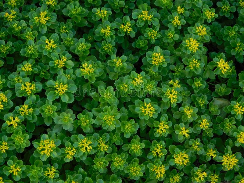 Flores amarelas minúsculas fotos de stock royalty free