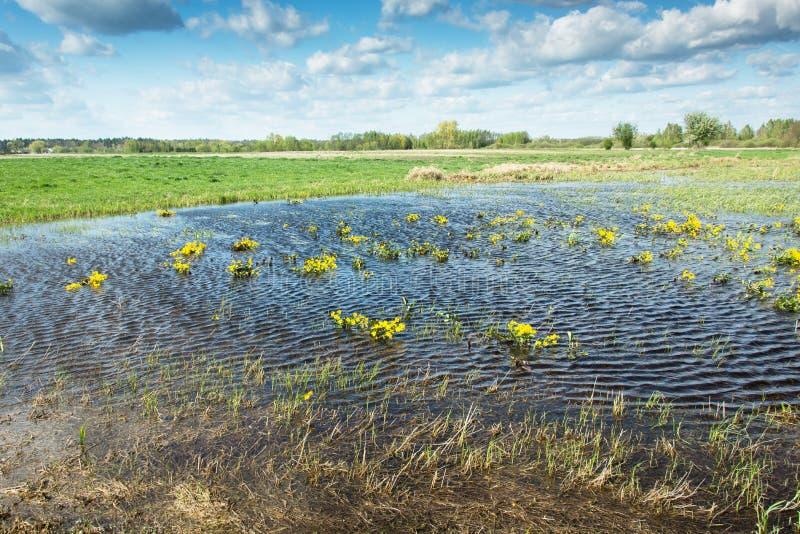 Flores amarelas na ?gua no prado, nuvens brancas no c?u azul foto de stock