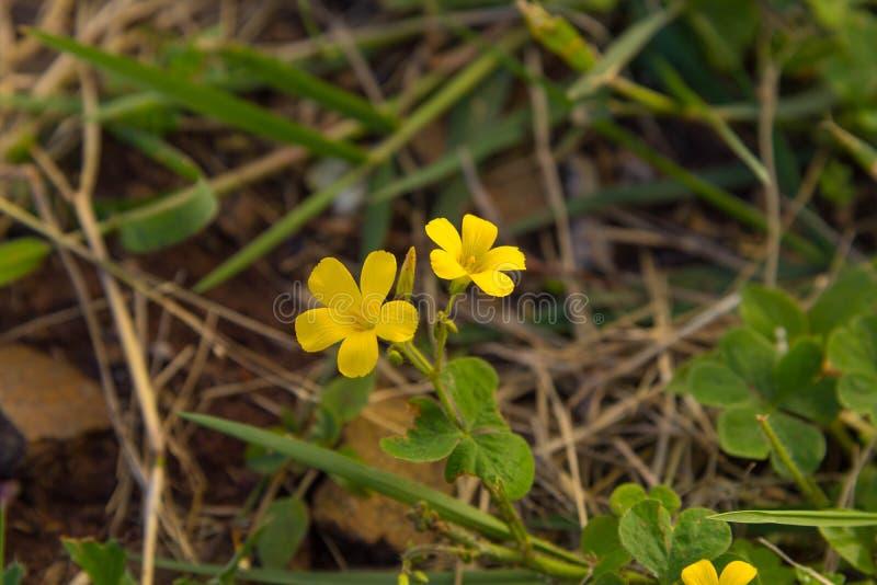 Flores amarelas na estação do inverno em Brasil foto de stock