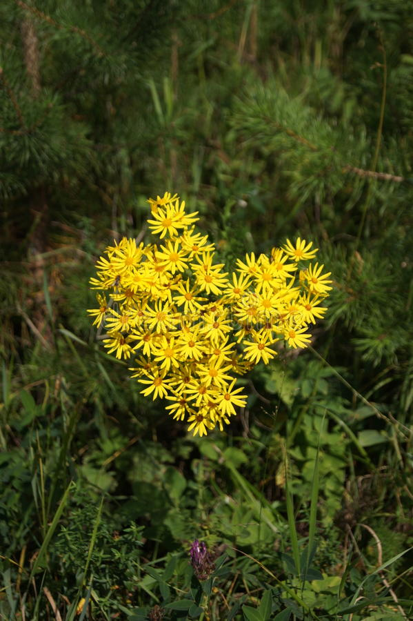 flores amarelas na forma do coração foto de stock royalty free