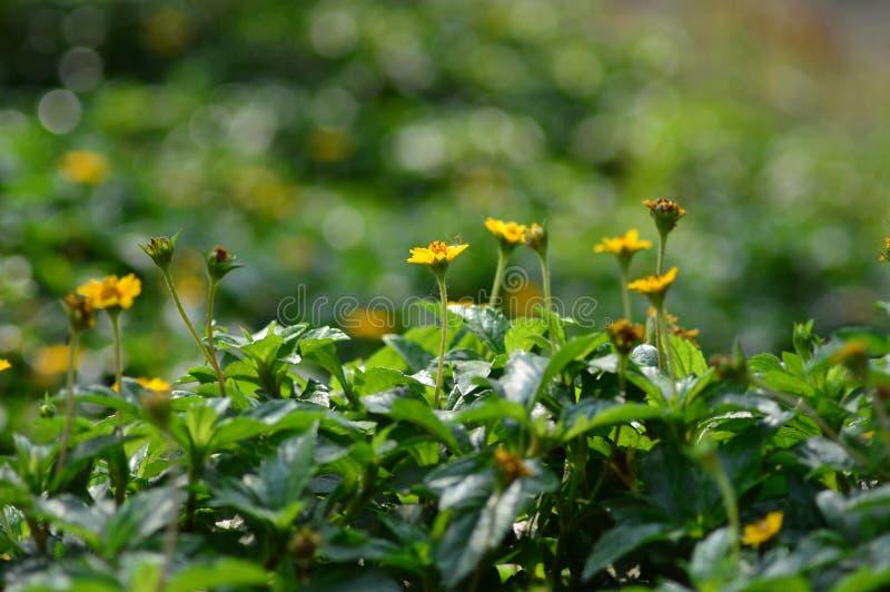 Flores amarelas na manhã foto de stock