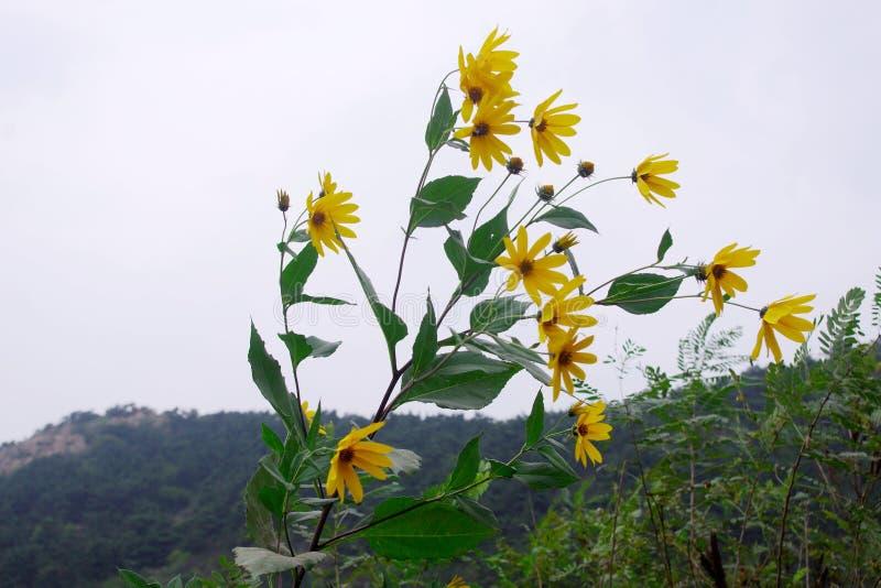 Flores amarelas na montanha  fotografia de stock royalty free