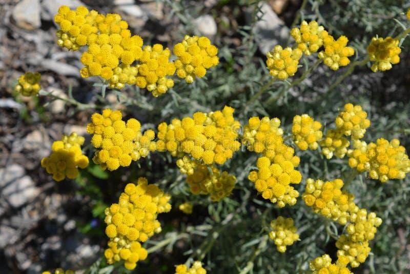 Flores amarelas na primavera, italicum do Helichrysum imagem de stock