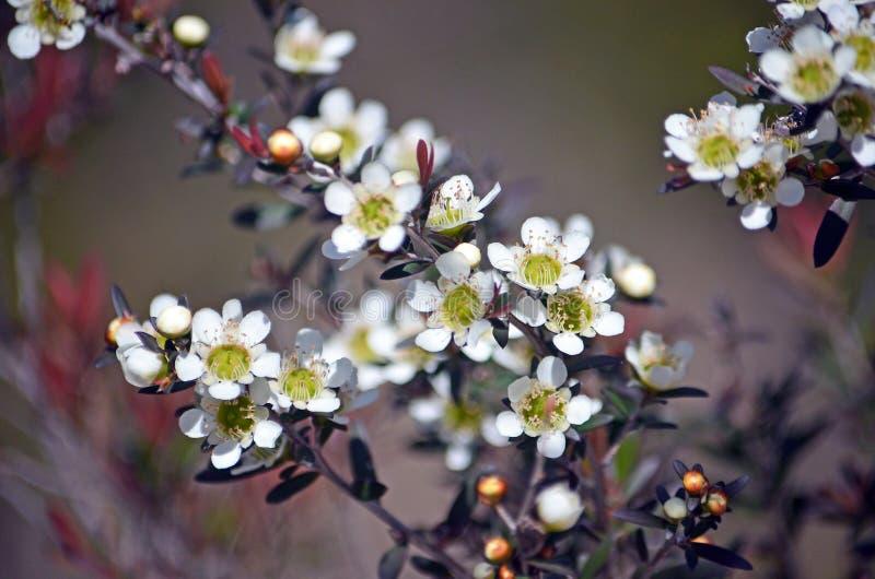 Flores amarelas nativas australianas da árvore do chá imagem de stock