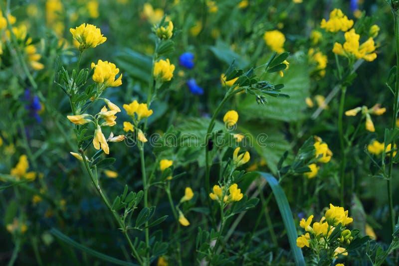 Flores amarelas no jardim imagem de stock royalty free