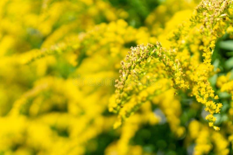 Flores amarelas no jardim - polinização imagem de stock royalty free