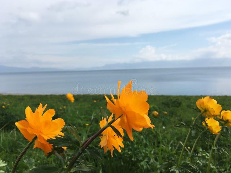 Flores amarelas no lago Sayram Sailimu imagens de stock