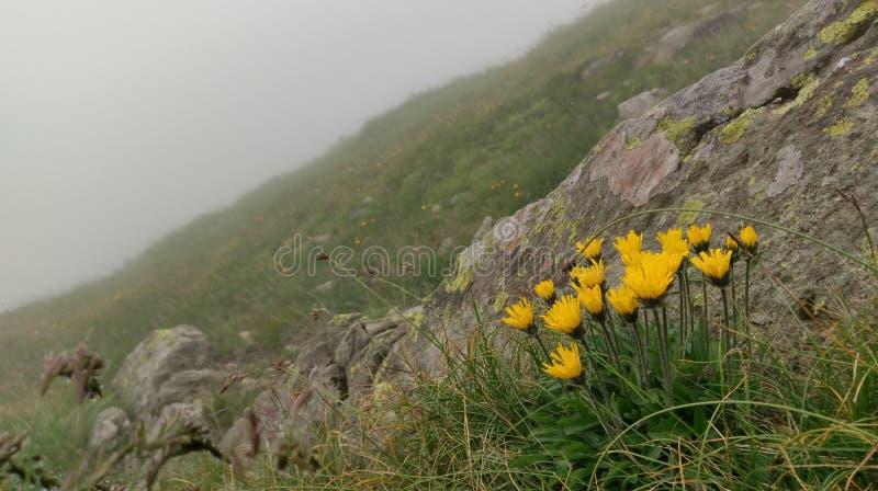 Flores amarelas selvagens fotografia de stock