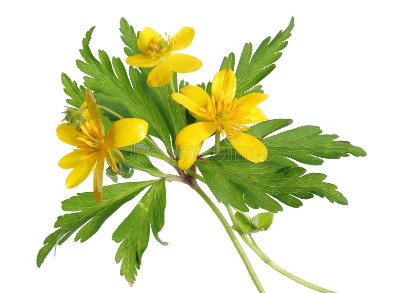 Flores amarelas selvagens da floresta de primeiro abril com folhas fotos de stock