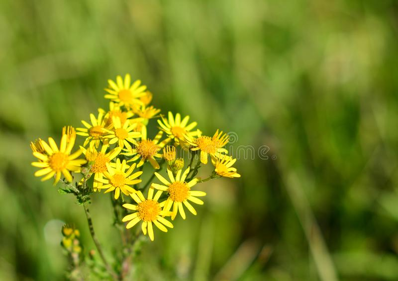 Flores amarelas selvagens da margarida na natureza esverdeado borrada fotos de stock